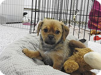 Terrier (Unknown Type, Small) Mix Puppy for adoption in Washington, Pennsylvania - Sierra