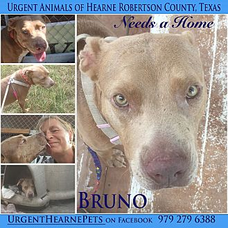 Labrador Retriever/American Staffordshire Terrier Mix Dog for adoption in Hearne, Texas - Bruno