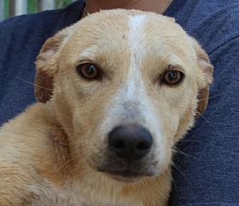 Labrador Retriever/Jack Russell Terrier Mix Dog for adoption in Middletown, New York - Toni