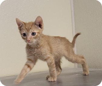 Domestic Shorthair Kitten for adoption in Yucca Valley, California - Miny & Moe