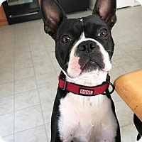 Boston Terrier Dog for adoption in Winchester, Virginia - Jack