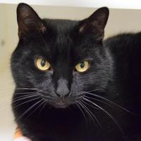 Adopt A Pet :: Atilla - Woodinville, WA