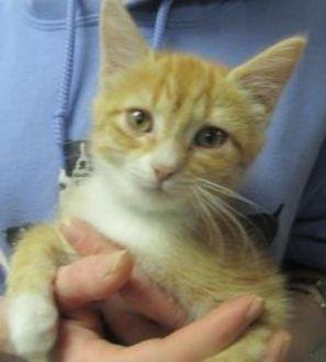 Domestic Shorthair/Domestic Shorthair Mix Cat for adoption in Robinson, Illinois - Chloe