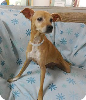 Italian Greyhound/Chihuahua Mix Dog for adoption in Buffalo, Indiana - Zuzu has been ADOPTED