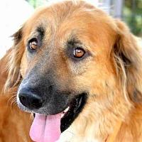 Adopt A Pet :: GOLDIE(GENTLE-SO LOVING!! WOW! - Wakefield, RI