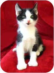Domestic Shorthair Kitten for adoption in Davis, California - Monster Truck