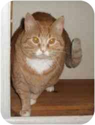 Domestic Shorthair Cat for adoption in Colmar, Pennsylvania - P-Jayz