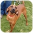 Photo 1 - Redbone Coonhound Dog for adoption in Powell, Ohio - Ruby Jayne
