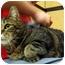 Photo 1 - Domestic Shorthair Cat for adoption in Colmar, Pennsylvania - Dustin