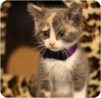 Calico Kitten for adoption in Austin, Texas - Monica