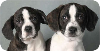 Boston Terrier/Basset Hound Mix Puppy for adoption in Chicago, Illinois - Phoebe & Winky