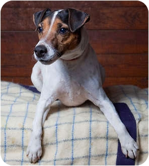 Jack Russell Terrier Dog for adoption in Rhinebeck, New York - Indy