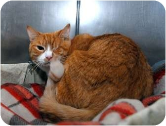 Domestic Shorthair Cat for adoption in New York, New York - Winston