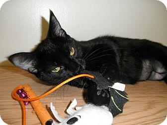 Domestic Shorthair Kitten for adoption in Milwaukee, Wisconsin - Damsel