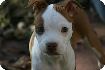 American Pit Bull Terrier Mix Puppy for adoption in Oak Creek, Wisconsin - Patches
