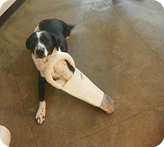 German Shorthaired Pointer/Border Collie Mix Dog for adoption in Roosevelt, Utah - Louie