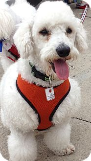 Bichon Frise/Poodle (Miniature) Mix Puppy for adoption in Poway, California - HAPPY