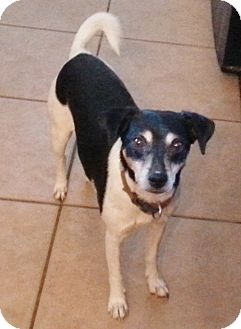 Jack Russell Terrier Mix Dog for adoption in Phoenix, Arizona - Jack