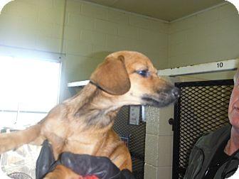 Dachshund Mix Puppy for adoption in Littleton, Colorado - SOFIA