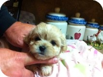 Shih Tzu/Poodle (Miniature) Mix Puppy for adoption in Cranford, New Jersey - Carmel
