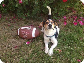 Jack Russell Terrier/Beagle Mix Puppy for adoption in Chattanooga, Tennessee - Dempsey