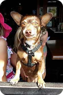 """Chihuahua/Miniature Pinscher Mix Dog for adoption in Los Angeles, California - Bella- great """"road trip"""" dog!"""