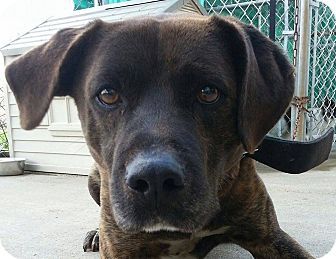 Mastiff Mix Dog for adoption in Lisbon, Ohio - Romeo