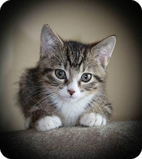 Domestic Mediumhair Kitten for adoption in Hamilton., Ontario - georgie