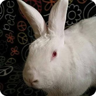 New Zealand for adoption in Winchester, Virginia - Clyde