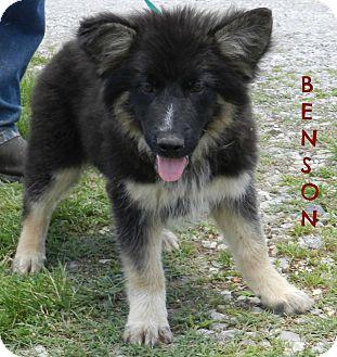 German Shepherd Dog Mix Puppy for adoption in Lawrenceburg, Tennessee - Benson