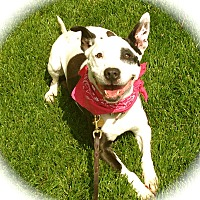 Bull Terrier/American Staffordshire Terrier Mix Dog for adoption in Los Angeles, California - Cute Dallas-VIDEO
