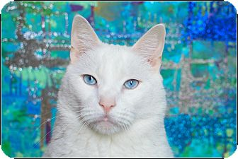 Domestic Shorthair Cat for adoption in Brooklyn, New York - Domino