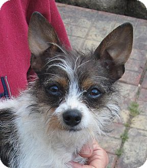 Chihuahua/Yorkie, Yorkshire Terrier Mix Dog for adoption in Washington, D.C. - Millie