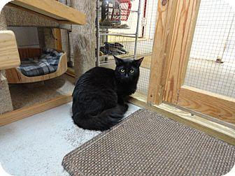 Domestic Mediumhair Cat for adoption in Ozark, Alabama - Bash
