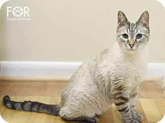Domestic Shorthair Cat for adoption in Knoxville, Tennessee - River