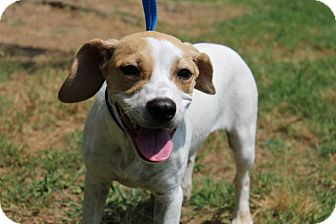 Beagle Mix Puppy for adoption in Conway, Arkansas - Darlin'