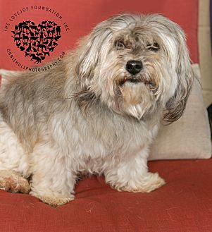 Cairn Terrier/Poodle (Standard) Mix Dog for adoption in Inglewood, California - Billy