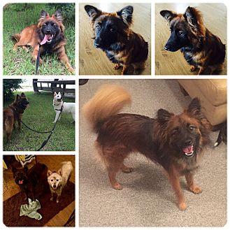 Shepherd (Unknown Type)/Spitz (Unknown Type, Small) Mix Dog for adoption in Chilliwack, British Columbia - Tani