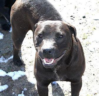 American Pit Bull Terrier Mix Dog for adoption in Littlerock, California - Allie