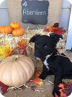 Border Collie/American Staffordshire Terrier Mix Puppy for adoption in Tracy, California - Auberdeen