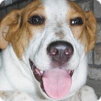 Adopt A Pet :: Maliah - Chapel Hill, NC