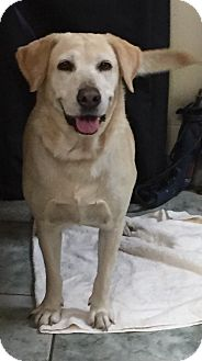 Labrador Retriever Dog for adoption in Orlando, Florida - Lexi