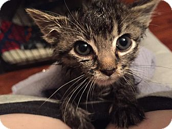 Domestic Shorthair Kitten for adoption in Elgin, Illinois - Maya