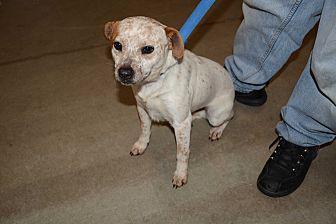 Australian Cattle Dog Mix Dog for adoption in Hopkinsville, Kentucky - Piglet