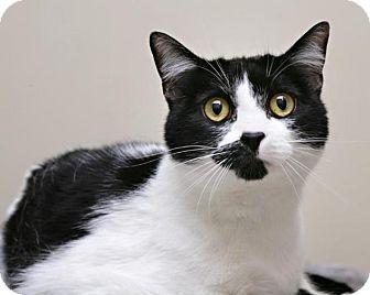 Domestic Shorthair Cat for adoption in Bellingham, Washington - Maybelline
