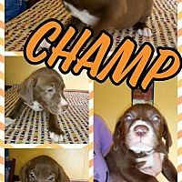 Adopt A Pet :: Champ - Sumter, SC