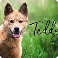 Adopt A Pet :: Teddy - Joliet, IL