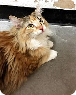 Domestic Longhair Kitten for adoption in Las Vegas, Nevada - Froze