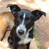 Adopt A Pet :: Sirius - Athens, GA