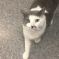 American Shorthair Cat for adoption in Johns Creek, Georgia - Sully